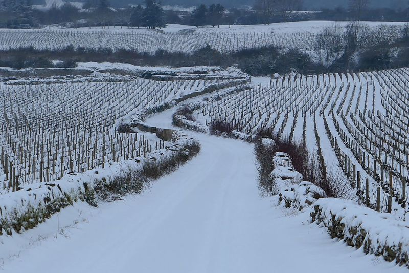 Scenic view of snowcapped vineyard