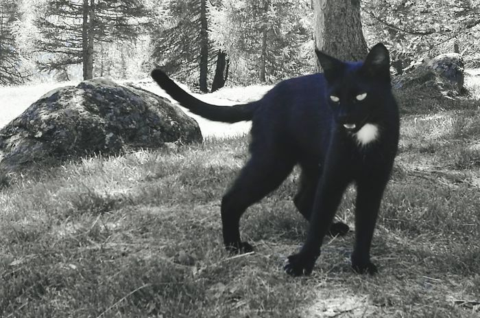 Cat Mountaincat BLackCat