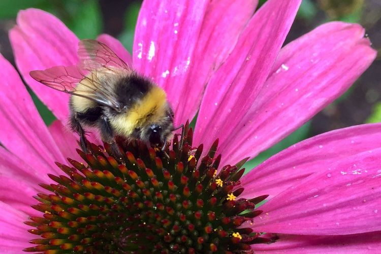 Hummel auf Echinacea Flower Flowering Plant Insect Petal Fragility Invertebrate Beauty In Nature