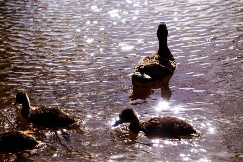 Mother is watching EyeEm Best Shots Animal Themes Animal Wildlife Animals In The Wild Bird Day Duckling Ducklings Swimming Ducks At The Lake Lake Nature No People Outdoors Reflection Rippled Swimming Togetherness Water Water Bird Waterfront Young Bird