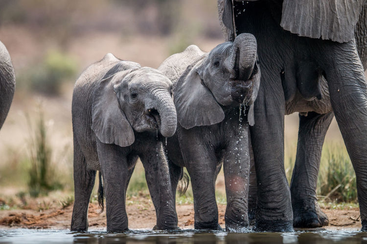 Elephants drinking water from lake