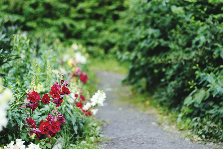Flower Nature Beauty In Nature Red Green Color Plant No People Path Outdoors Freshness Day Beautiful Day