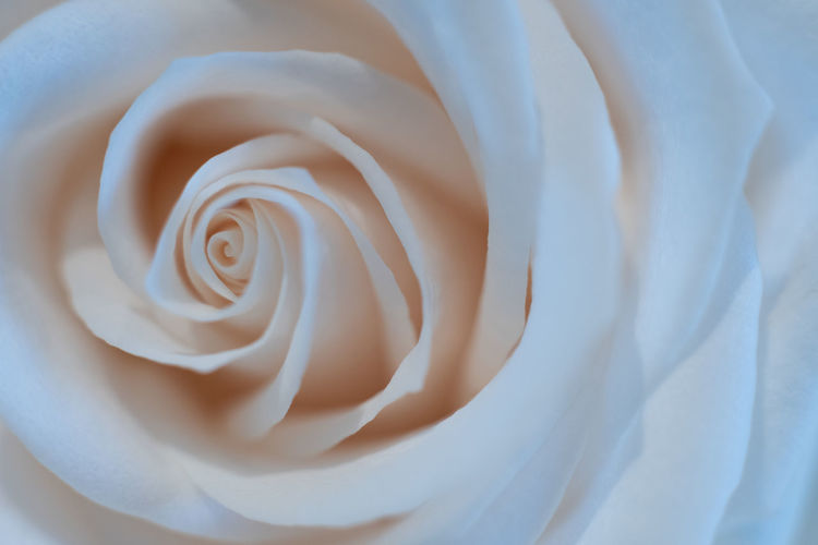 Patterns in nature in white White Color Rose - Flower Full Frame Close-up Flower Rosé No People Pattern Softness Beauty In Nature Fragility Flower Head Nature White