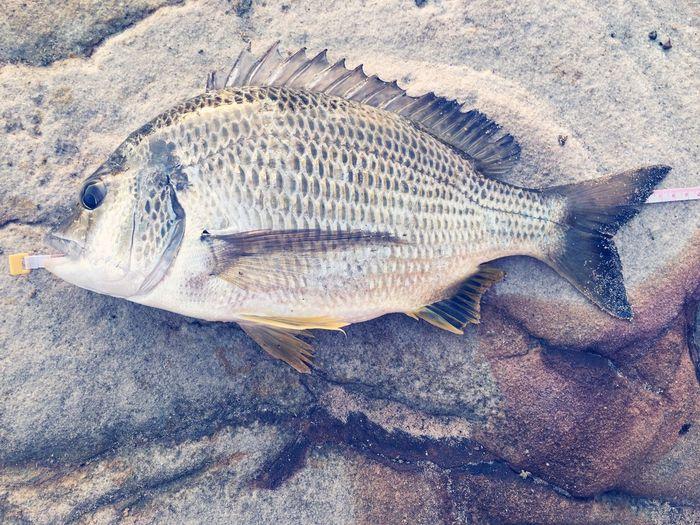 This morning I caught yellowfin bream 38cm with salted prawn. I did float fishing at Sydney harbour. Fisherman Rockfishing Sydney Australia Nsw Sashimi Dinner Sushi Fish Fish Eye FishEyeEm
