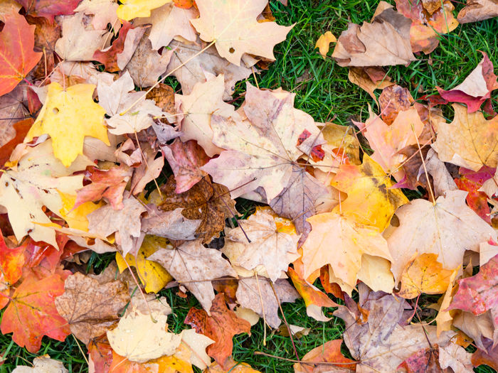 fall EyeEm Nature Lover Abundance Autumn Backgrounds Beauty In Nature Change Close-up Day Directly Above Dry Fall Falling First Eyeem Photo Full Frame High Angle View Leaf Leaves Maple Leaf Natural Condition Nature No People Outdoors Plant Plant Part Yellow