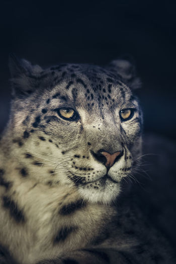 Close-up portrait of leopard against black background