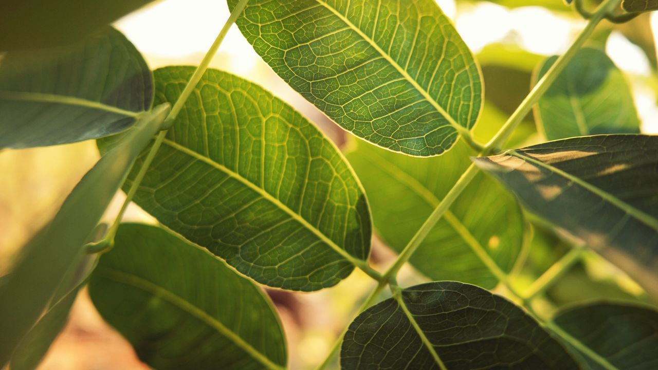 leaf, plant part, green color, plant, growth, close-up, nature, beauty in nature, leaf vein, no people, day, selective focus, focus on foreground, outdoors, sunlight, freshness, tree, leaves, natural pattern, tranquility