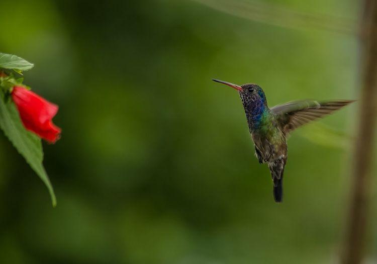 Beijaflor Bird
