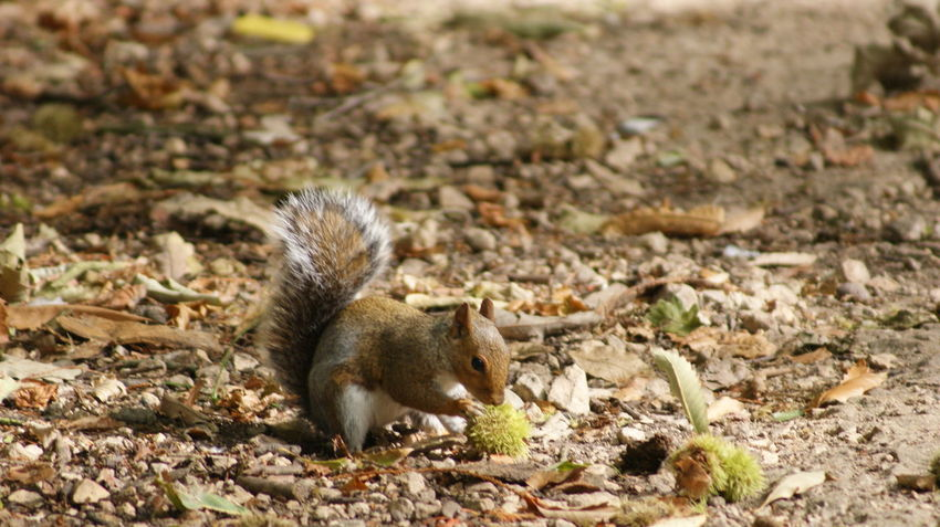 Chestnut Squirrel Animal Wildlife Animals In The Wild Chestnut - Food Cute Day Eating Focus On Foreground Full Length Land Mammal Nature No People One Animal Outdoors Rodent Side View Squirrel Vertebrate