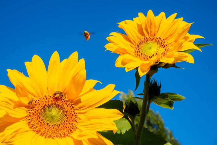 Close-up of bee on sunflower against clear sky