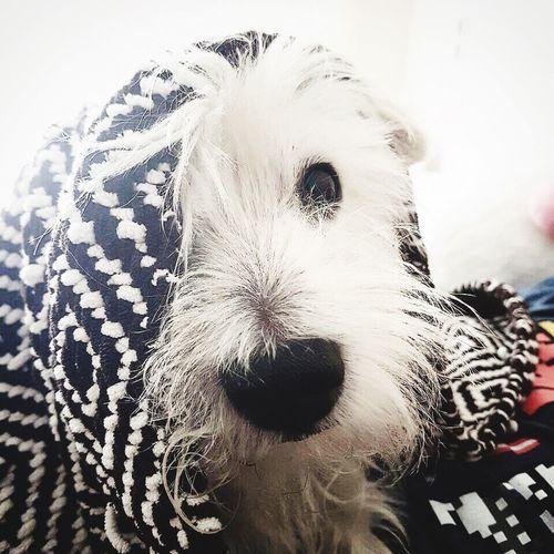 DonChoclo Westielove westie Pets Dog