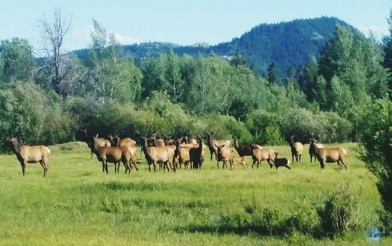 Elk Elk Herd Elk Calves Wyoming Ranch Life Nature Wildlife