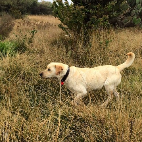 Pet Portraits Blondie Labrador Dog