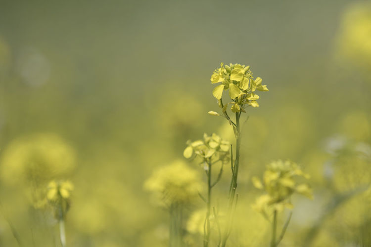 Agriculture Beauty In Nature Close-up Day Field Flower Flower Head Fragility Freshness Growth Mustard Plant Nature No People Oilseed Rape Outdoors Plant Springtime Yellow