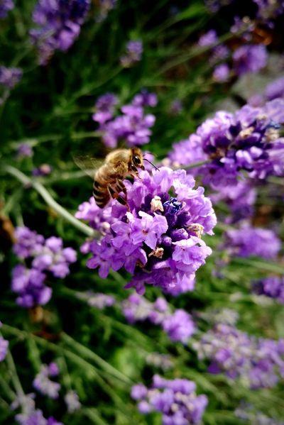Hardworkers Bee Lavender Summer Life