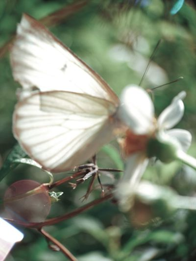 Close-up of butterfly on white flower