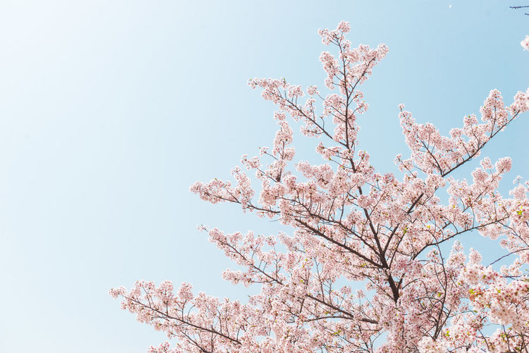 Pink Cherry blossom or sakura flower with blue sky in spring season at Japan Low Angle View Tree Flowering Plant Sky Flower Fragility Blossom Plant Beauty In Nature Nature Pink Color Branch Growth Vulnerability  Freshness Day Clear Sky Cherry Blossom Springtime No People Cherry Tree Outdoors Spring Sakura Sakura Blossom Sakura2018 Travel Hanami