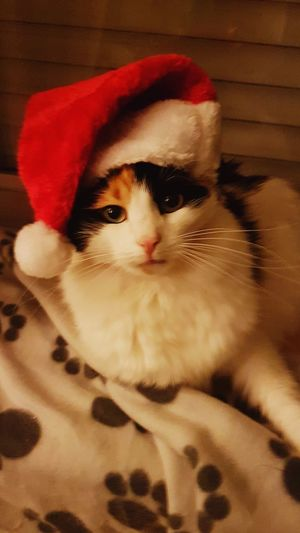Christmastime Weihnachten Tricolor Cat Pets Domestic Cat Domestic Animals One Animal Animal Themes Feline Mammal Cute Animal Head  Looking At Camera Portrait Kitten