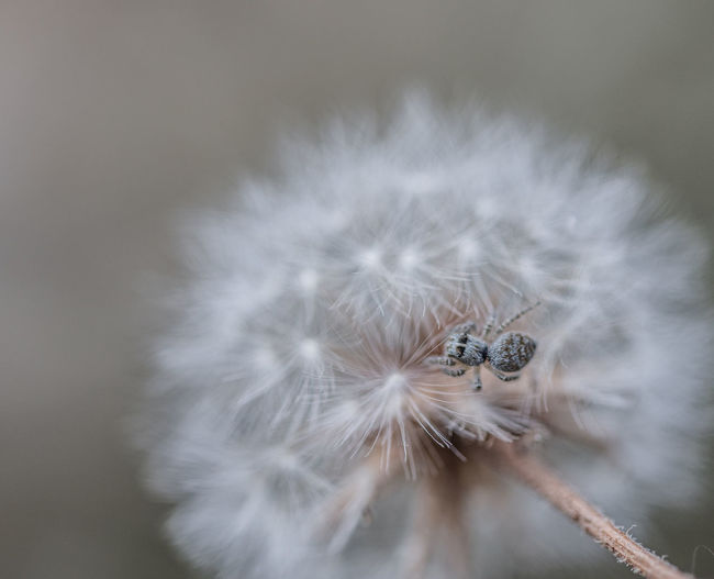 Animal Animal Themes Animals In The Wild Beauty In Nature Close-up Dandelion Dandelion Seed Day Flower Flower Head Flowering Plant Fragility Freshness Insect Invertebrate Nature No People One Animal Outdoors Plant Pollination Selective Focus Softness Vulnerability  White Color