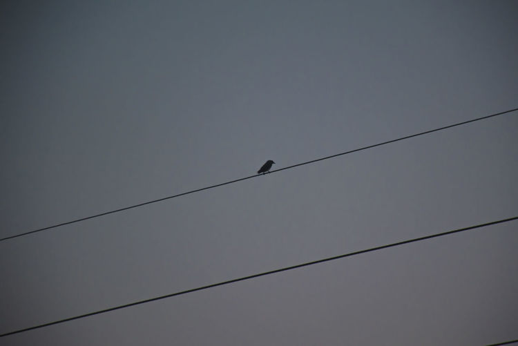 Bird Rice Field Vertebrate Bird Animal Animal Wildlife Animals In The Wild Low Angle View Cable Animal Themes Sky Perching One Animal Electricity  Power Line  Connection No People Silhouette Clear Sky Nature Day Outdoors Power Supply Telephone Line