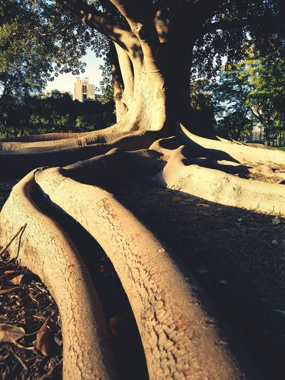 Sunlight Shadow Tree No People Sand Outdoors Nature Close-up Day Sevilla Parque  Ficus Tree Backgrounds
