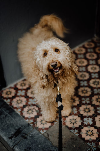 Long-haired goldendoodle dog looking up smiling
