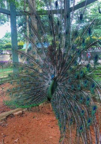 Animal Peacock Original Mini Zoo Bintan