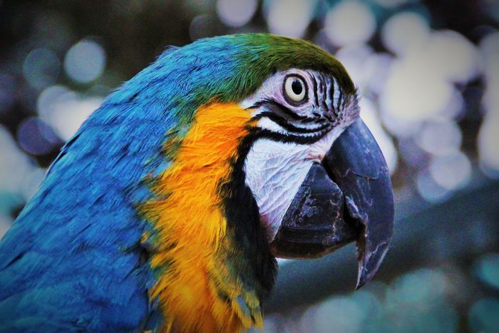 Animal Themes Animal Wildlife Animals In The Wild Beak Beauty In Nature Bird Close-up Day Focus On Foreground Gold And Blue Macaw Macaw Nature No People One Animal Outdoors Parrot