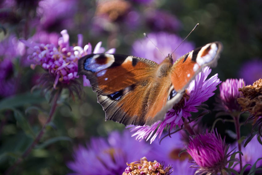 Animal Themes Animal Wildlife Animals In The Wild Beauty In Nature Butterfly - Insect Close-up Day Eastern Purple Coneflower Flower Flower Head Focus On Foreground Fragility Freshness Growth Insect Nature No People One Animal Outdoors Perching Petal Plant Pollination Purple