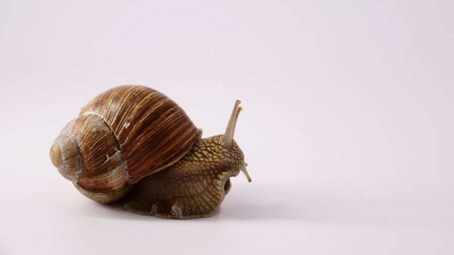 Close-up of snail against white background