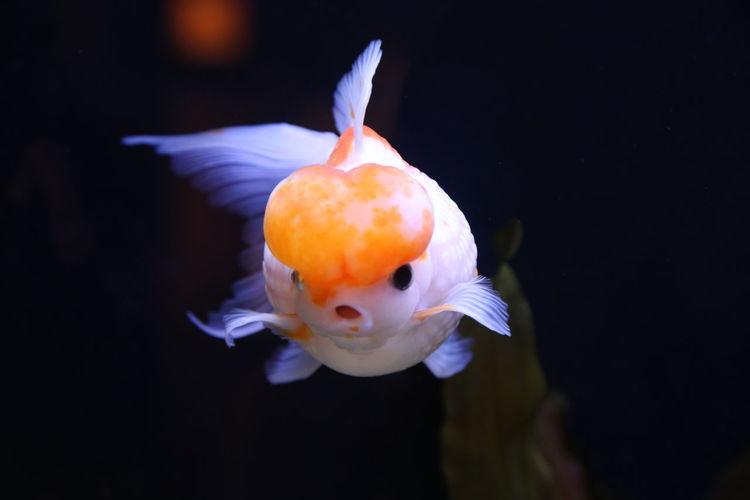 Angry Beauty In Nature Black Background Close-up Fish Goldfish GoldFish! Nature Swimming