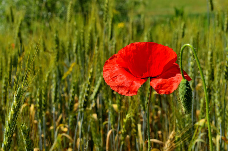 Close-up of red poppy flower on field