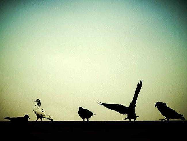 Relaxing wings..Pigeons Born To Fly Evening Sky Pigeons Everywhere Capturing Freedom Free As A Bird Fly Away Photography Bird Photography EyeEm Birds Enjoying Life First Eyeem Photo
