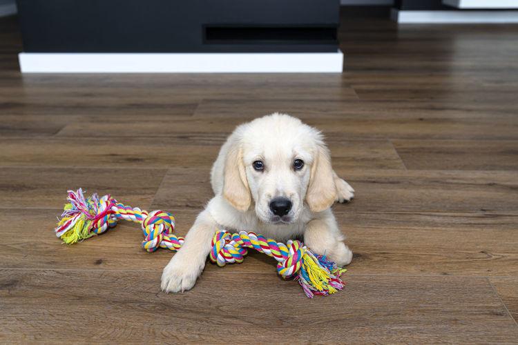 Portrait of dog with toy on hardwood floor