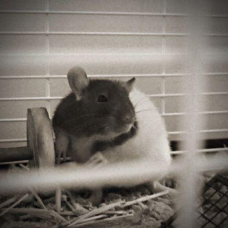 Cute Pets Blackandwhite Pet Rat Indoor Pets Animals