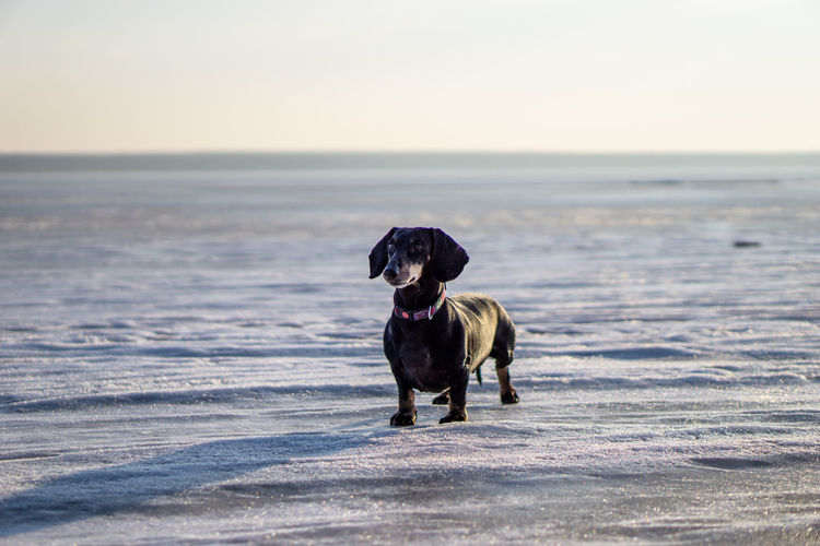 Alone Animal Themes Beach Boston Terrier Cape  Dachshund Day Dog Domestic Animals Ice Lake No People One Animal Outdoors Pets Sea Sky Sony A6000 Standing Winter Pet Portraits