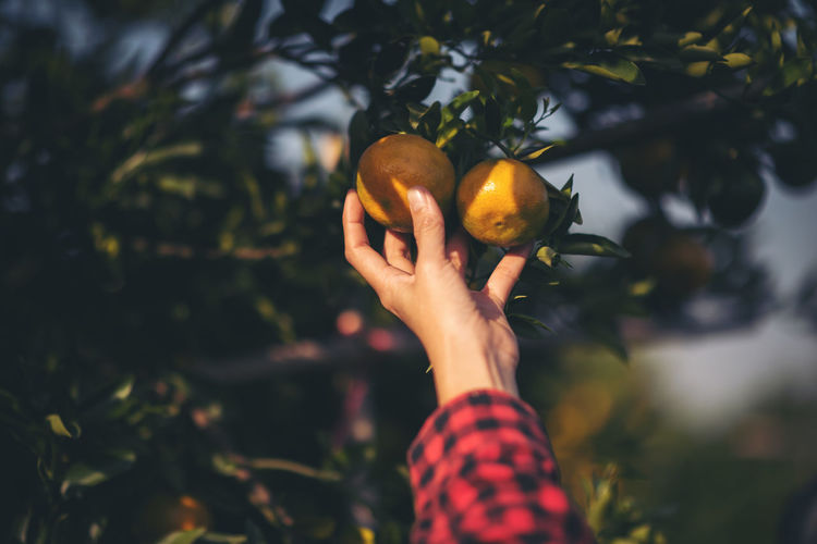 Cropped hand touching oranges growing on fruit tree