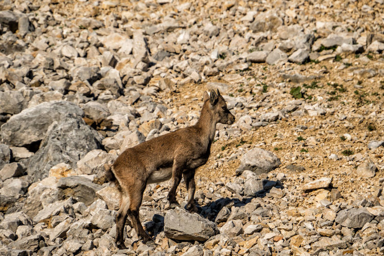 Young alpine ibex Tyrol Austria Alps Arid Climate Semi-arid Climate Standing Outdoors Environment Side View Day Rock - Object Landscape Land Rock Full Length Solid Nature Vertebrate No People One Animal Mammal Animals In The Wild Animal Wildlife Animal Animal Themes Ibex Capra Ibex Alpine Ibex Steinbock