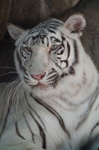 Animal Body Part Animal Head  Animal Markings Close-up Day Focus On Foreground Mammal Natural Pattern Nature No People Outdoors Portrait Tiger Whisker
