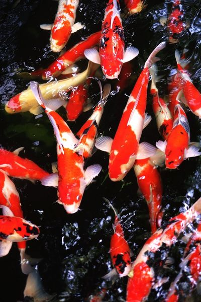 Colorful Nature Koi Carp Pond Carp Water Fish High Angle View Swimming No People Outdoors Nature Animal Themes Close-up Day F1.2 Fuji X-a2 Group Of Fish Fishes Colorful Swimming Large Group Of Animals Bright Red Beauty In Nature Investing In Quality Of Life