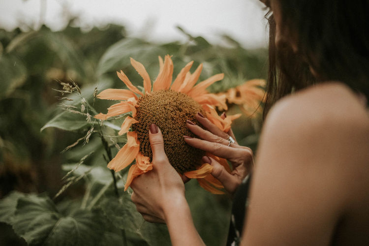 Midsection Of Woman Holding Sunflower On Field