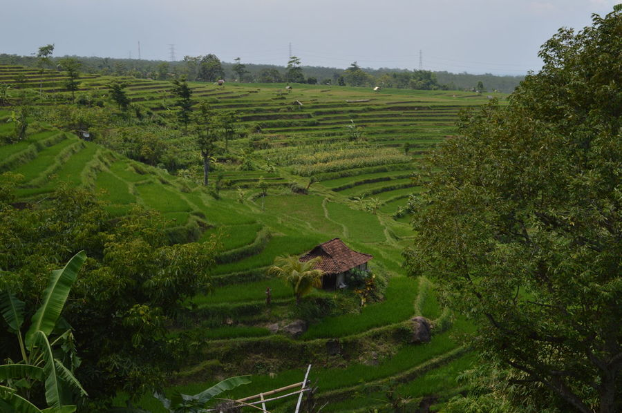 HUMA DI TEPI SAWAH Agriculture Farm Field Green Color Hugging A Tree Landscape Outdoors