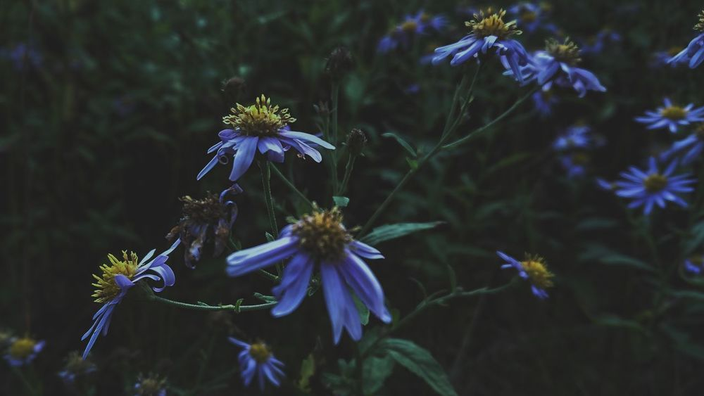 🥀... Flower Blue Fragility No People Nature Close-up Outdoors Beauty In Nature Beauty Flower Head Botanical Garden Hokkaido Black_chica1709 The Week Of Eyeem Landscape Photography Hokkaido,Japan EyeEmNewHere Landscape_photography Flower Photography Chica's Flowers Focus On Foreground Autumn