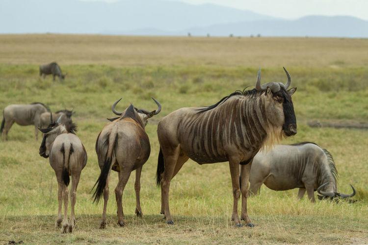 Wildebeest in a field