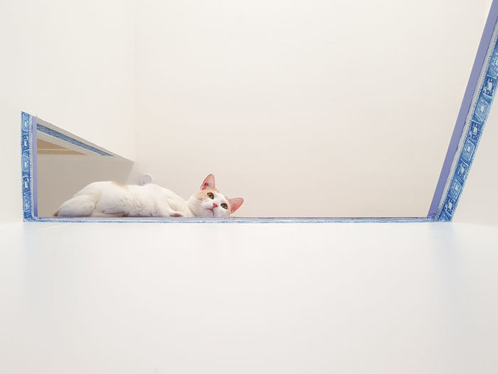 White cat resting against wall