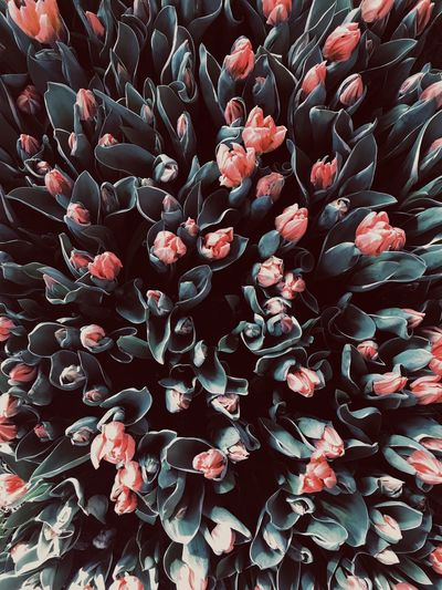 Tulip Melancholy Pink Flower Wallpaper Melancholy Dark Full Frame Backgrounds No People Close-up Beauty In Nature Freshness Plant Flower