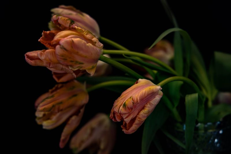 Parrot tulips Parrot Tulip Tulips Close-up Plant Flower Animal Themes Animal Beauty In Nature Flowering Plant Nature Black Background
