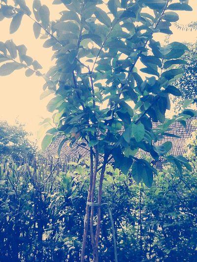 pohon jambu hasil tanamku...