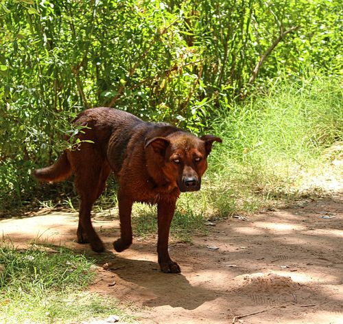 Supai Doggo doing a stroll!- Havasupai Falls, AZ Animal Themes Arizona Arizona Dogs Backpacking Brown Dog Day Dog Domestic Animals Full Length Grass Green Color Havasupai Falls Intense Eyes Mammal Nature No People One Animal Outdoors Pets Portrait River Crossing Sunlight Supai, AZ Tree Wild Dogs Pet Portraits