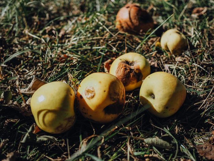 EyeEm Nature Lover EyeEmNewHere Apple - Fruit Apples Close-up Fall Fallen Fruits Field Food Food And Drink Freshness Fruit Fruit Harvest Grass Growth Harvesting Healthy Eating Land Nature No People Outdoors Plant Rotting Selective Focus Wellbeing